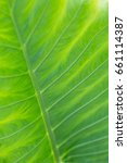 Small photo of Leafs of Alocasia