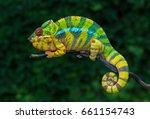 chameleon furcifer pardalis... | Shutterstock . vector #661154743