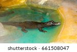 Small photo of African Dwarf Crocodile cooling in a small water pond, West and Central Africa