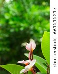 photo of pink plumeria flowers... | Shutterstock . vector #661515217
