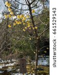 Small photo of Yellow flowers of Wintersweet or Chimonanthus praecox (Soshin-robai in Japanese)