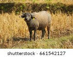 laos   buffalo in the field.... | Shutterstock . vector #661542127