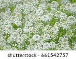 the blooming bush with small... | Shutterstock . vector #661542757