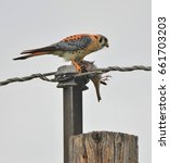 Small photo of American Kestrel Falcon eating a Bird