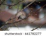 Small photo of Codirosso Spazzacamino; Phoenicurus ochuros; Passeriformes Turdidae; sparrow; black redstart