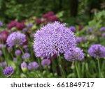 Allium Among Different Colors.