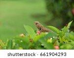 chameleon on green tree  ... | Shutterstock . vector #661904293