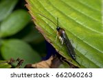 Small photo of Braconidae wasp on a leaf in the wild