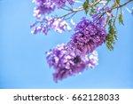 Flowering Jakaranda Branches...
