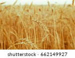 field of golden wheat ears on... | Shutterstock . vector #662149927