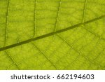 Small photo of Close up backlit yellow green color live tree leaf natural furcate vein net create venation pattern structure background Creative easy light texture wallpaper in backlight with empty space for desktop
