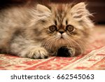 Stock photo persian kitten on a persian carpet 662545063