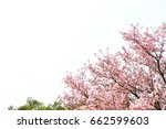 taiwanese sakura flowers are in ... | Shutterstock . vector #662599603