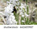 Nevada Bumblebee Takes Nectar...