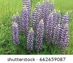 beautiful colorful blooming... | Shutterstock . vector #662659087