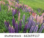 beautiful colorful blooming... | Shutterstock . vector #662659117