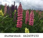 beautiful colorful blooming... | Shutterstock . vector #662659153