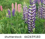 beautiful colorful blooming... | Shutterstock . vector #662659183