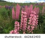 lupine  lupin. a plant of the...   Shutterstock . vector #662661403