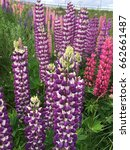 lupine  lupin. a plant of the...   Shutterstock . vector #662661487