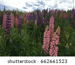 lupine  lupin. a plant of the...   Shutterstock . vector #662661523