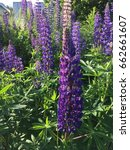 lupine  lupin. a plant of the...   Shutterstock . vector #662661607