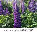 lupine  lupin. a plant of the...   Shutterstock . vector #662661643