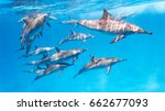 east pacific dolphins in the... | Shutterstock . vector #662677093