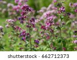 Purple Flowers Of Origanum...