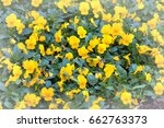 Yellow Pansy Flowers On Blurre...
