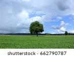 lonely tree in corn field in... | Shutterstock . vector #662790787