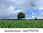 lonely tree in corn field in... | Shutterstock . vector #662790793