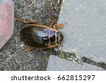 Small photo of Beetle Dytiscidae water beetles on the pavement in the spring closeup