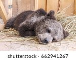 Sleeping Young Brown Bear Lyin...