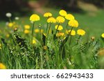 yellow dandelion flowers at