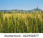 unripe green wheat field  green ...