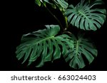 dark green leaves of monstera... | Shutterstock . vector #663024403