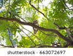 spotted owl in thailand | Shutterstock . vector #663072697