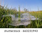 Small photo of Dewy flat plate web of a Funnel-web spider, probably Agelena labyrinthica under a blue sky