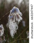 Small photo of Flowers of Common Cottongrass, wet because of the dew