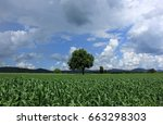 lonely tree in corn field on... | Shutterstock . vector #663298303
