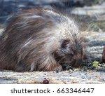 porcupine | Shutterstock . vector #663346447