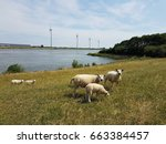 Sheep And Lams Animals On The...