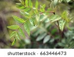 rowan mountain ash tree sapling