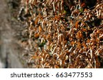 hedge with hornbeams  carpinus... | Shutterstock . vector #663477553