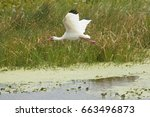 White Ibis  Eudocimus Alba ...