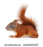eurasian red squirrel isolated... | Shutterstock . vector #663600187