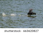 Coot Wild Duck Running Across...