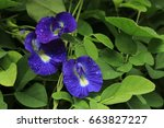 Butterfly Pea  Clitoria...