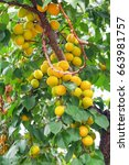 Apricot Tree Branches With...